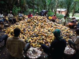 cocobod cocoa price
